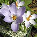 Crocus longiflorus, John Lonsdale [Shift+click to enlarge, Click to go to wiki entry]