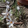 Crocus michelsonii, Jane McGary [Shift+click to enlarge, Click to go to wiki entry]