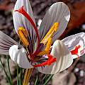 Crocus moabiticus, John Lonsdale [Shift+click to enlarge, Click to go to wiki entry]