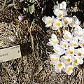 Crocus niveus, UC Botanical Garden
