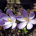 Crocus nudiflorus, John Lonsdale [Shift+click to enlarge, Click to go to wiki entry]