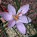 Crocus oreocreticus, John Lonsdale [Shift+click to enlarge, Click to go to wiki entry]