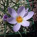 Crocus paschei, John Lonsdale [Shift+click to enlarge, Click to go to wiki entry]