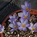 Crocus pulchellus, Mary Sue Ittner