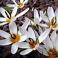 Crocus reticulatus ssp. hittiticus, John Lonsdale [Shift+click to enlarge, Click to go to wiki entry]