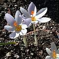 Crocus robertianus, Jane McGary [Shift+click to enlarge, Click to go to wiki entry]