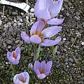 Crocus rujanensis, Jane McGary [Shift+click to enlarge, Click to go to wiki entry]