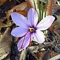 Crocus sativus, John Lonsdale