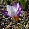 Crocus sieberi 'Hubert Edelsten', Tony Goode [Shift+click to enlarge, Click to go to wiki entry]