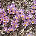 Crocus sieberi ssp. sublimus 'Tricolor', Mark McDonough