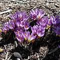 Crocus sieberi ssp. sublimus 'Tricolor', Mark McDonough