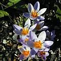 Crocus sieberi ssp. atticus, Tony Goode