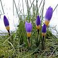 Crocus sieberi ssp. sublimus 'Tricolor', Tony Goode