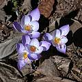 Crocus speciosus 'Artabir', Jane McGary [Shift+click to enlarge, Click to go to wiki entry]
