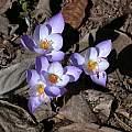 Crocus speciosus 'Artabir', Jane McGary [Shift+click to enlarge, Click to go to wiki entry]