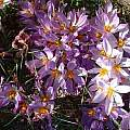 Crocus thomasii, Angelo Porcelli