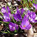 Crocus tommasinianus 'Ruby Giant', Jay Yourch [Shift+click to enlarge, Click to go to wiki entry]