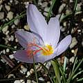 Crocus tournefortii, Mary Sue Ittner [Shift+click to enlarge, Click to go to wiki entry]