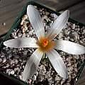 Crocus veluchensis albus, John Lonsdale