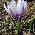 Crocus vernus ssp. albiflorus, Tony Goode