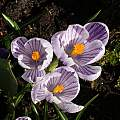 Crocus vernus 'Pickwick', David Pilling