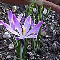 Crocus vernus ssp.vernus seedling, Jane McGary