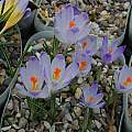 Crocus vernus ssp.vernus, Balkan form, formerly Crocus heuffelianus, Tony Goode