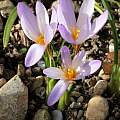 Crocus yalovensis, Martin Bohnet [Shift+click to enlarge, Click to go to wiki entry]