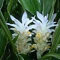 Curcuma petiolata 'Emperor', Steve Burger