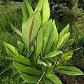 Curcuma zedoaria foliage, Alani Davis