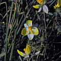 Cyanella alba, yellow form, Biedouw Valley, Mary Sue Ittner
