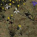 Cyanella alba, Moraea pritzeliana near Nieuwoudtville, Bob Rutemoeller