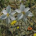 Cyanella alba near Nieuwoudtville, Mary Sue Ittner