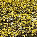 Cyanella alba near Nieuwoudtville, Bob Rutemoeller