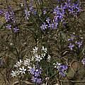 Cyanella hyacinthoides, Lapeirousia fabricii, Mary Sue Ittner