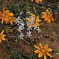 Cyanella hyacinthoides, Nieuwoudtville, Bob Rutemoeller