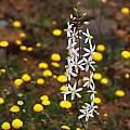 Cyanella hyacinthoides, Nieuwoudtville, Mary Sue Ittner
