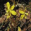 Cyanella lutea photographed in Montagu, Bob Rutemoeller