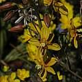 Cyanella lutea photographed near Calvinia, Mary Sue Ittner