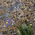 Cyanella orchidiformis, Namaqualand, Bob Rutemoeller