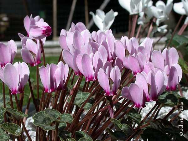домашние цветы Цикламен фото, выращивание, посадка и уход, купить Цикламен семена.