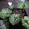 Cyclamen african leaves, Mary Sue Ittner