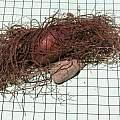 Cyclamen africanum tuber, Mary Sue Ittner