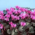 Cyclamen alpinum, John Lonsdale