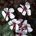 Cyclamen alpinum forma leucanthum, John Lonsdale