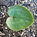 Cyclamen cilicium, Mary Sue Ittner