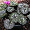 Cyclamen coum, Mary Sue Ittner