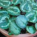 Cyclamen coum leaves, Mary Sue Ittner