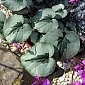 Cyclamen coum ssp. coum, John Lonsdale