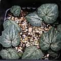 Cyclamen creticum leaves, Mary Sue Ittner